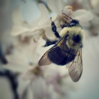 Bee On Flower Photograph - Bee by Sarah Coppola