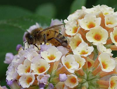Photograph - Bee Seeking Pollen by Margaret Saheed