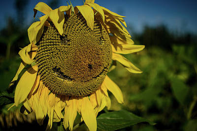 Photograph - Bee Smiling Sunflowers by Miguel Winterpacht