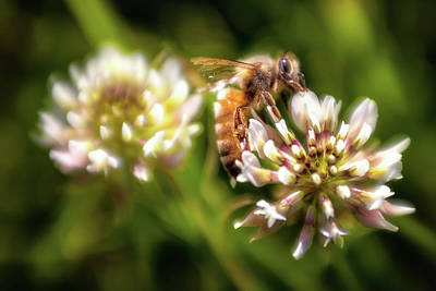 Photograph - Bee Sweet by Marnie Patchett