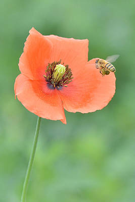 Photograph - Bee To Poppy by Alan Lenk