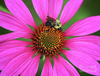 Photograph - Bee U T On A Coneflower by Karen Adams