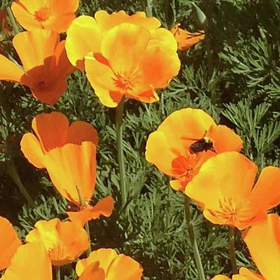 Photograph - Bee Visits Poppies  by Carolyn Donnell