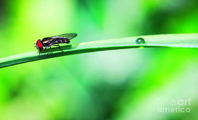 Photograph - Hoverfly With Red Eyes by Bruce Block