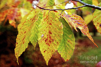 Photograph - Beech Fall by Paul Mashburn
