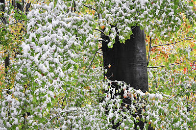 Photograph - Beech Foliage, Autumn Leaves In Early Snow by Martin Stankewitz