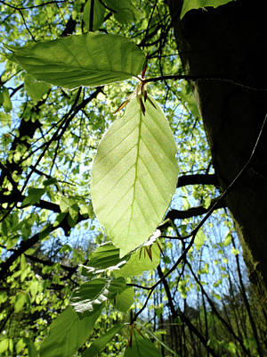Photograph - Beech Leave In Spring by Martin Stankewitz