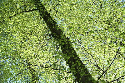 Photograph - Beech Leaves In The Sun Spring Forest by Martin Stankewitz