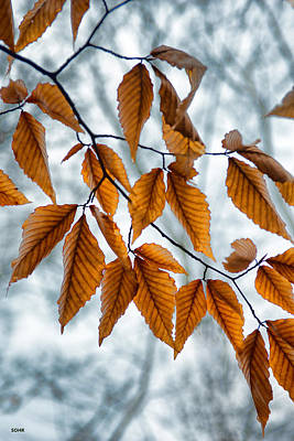 Photograph - Beech Leaves In Winter by Dana Sohr