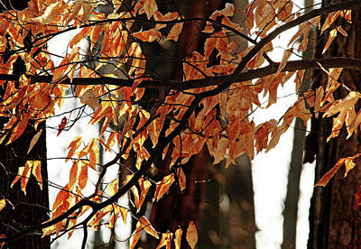 Photograph - Beech Leaves In Winter by Debbie Oppermann