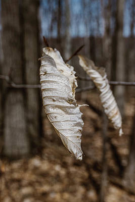 Photograph - Beech Leaves In Winter by Valerie Rosen