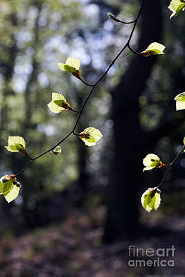 Vintage Signs - Beech Leaves opening out in spring Alderley Edge Cheshire England by Michael Walters