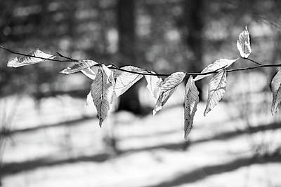 Photograph - Beech Leaves 5 - Uw Arboretum - Madison by Steven Ralser