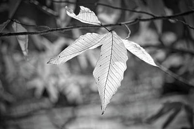Photograph - Beech Leaves - Uw Arboretum - Madison - Wisconsin by Steven Ralser
