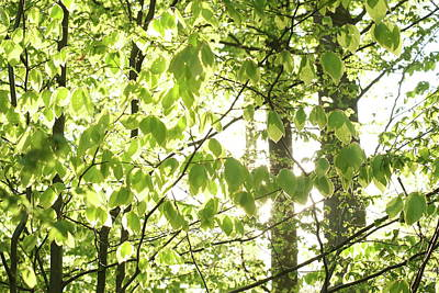 Photograph - Beech Tree Foliage Spring Season In The Woods by Martin Stankewitz