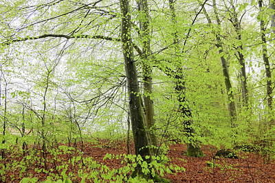 Photograph - Beech Tree Forest In Spring Season Fresh Green Leaves by Martin Stankewitz