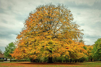 Photograph - Beech Tree In Autumn by Mike Santis