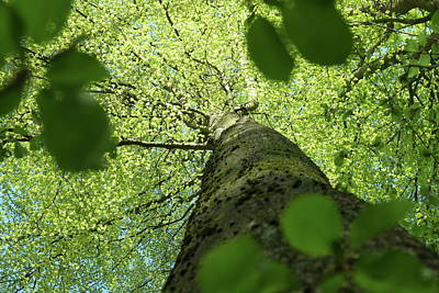 Photograph - Beech Tree In Spring, Fresh Foliage by Martin Stankewitz