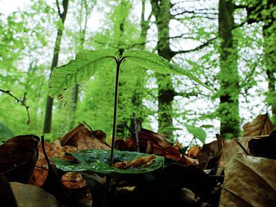 Photograph - Beech Tree Seedling In Spring Season by Martin Stankewitz