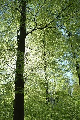 Photograph - Beech Tree Spring Foliage by Martin Stankewitz