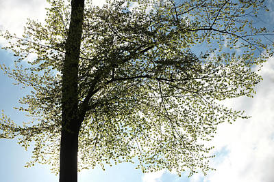 Photograph - Beech Tree Top In Spring  by Martin Stankewitz