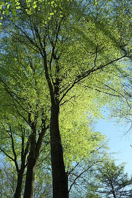 Photograph - Beech Tree Tops In Spring Green Foliage by Martin Stankewitz
