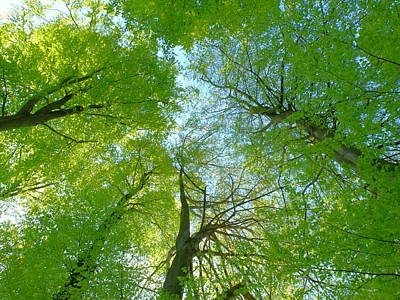 Photograph - Beech Tree Tops Spring Foliage by Martin Stankewitz