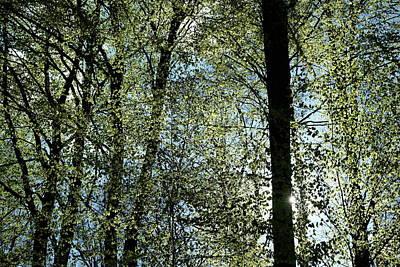 Photograph - Beech Tree Trunks Spring Foliage by Martin Stankewitz