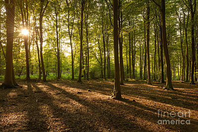 Beech Tree Woodland Summer Evening II Art Print