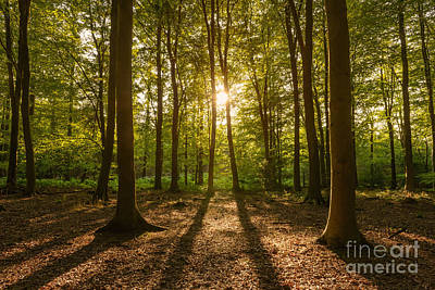Beech Tree Woodland Summer Evening Art Print