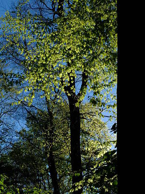 Photograph - Beech Trees In Spring Fresh Foliage by Martin Stankewitz