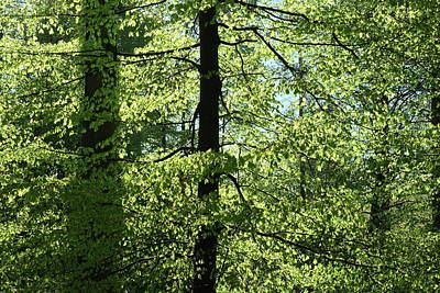 Photograph - Beech Trees In Spring, Fresh Green Foliage by Martin Stankewitz