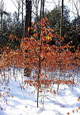 Photograph - Beech Trees In Winter by Debbie Oppermann
