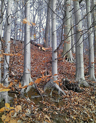 Photograph - Beech Trees by Melinda Blackman