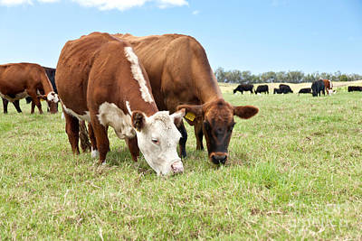 Photograph - Beef Cattle Grazing In Pasture by Inga Spence