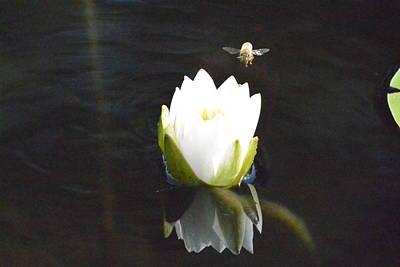 Photograph - Beelanding Water Lily  by Nicki Bennett