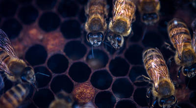Wax Cap Photograph - Bees At Work by Shawn Jeffries
