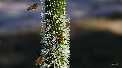 Photograph - Bees Collecting Pollen 2 by Gary Crockett