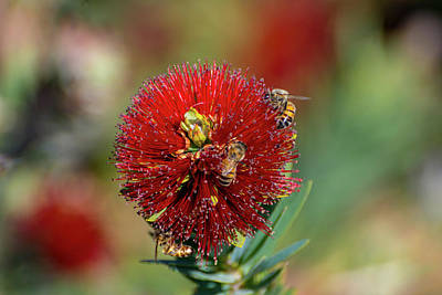 Photograph - Bees In Bottlebrush by Douglas Killourie