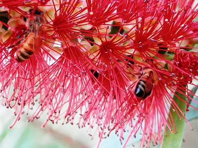 Photograph - Bees In The Bottle Brush Tree by Belinda Lee