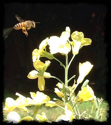 Photograph - Bees Love Broccoli by Daniele Smith