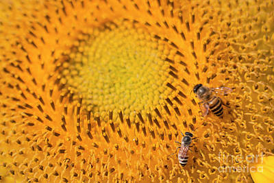 Photograph - Bees On A Sunflower #1 by Nola Lee Kelsey