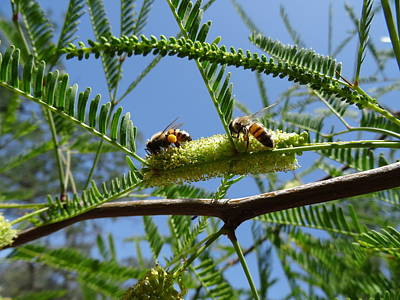 Photograph - Bees On Mesquite Bloom by Jim Taylor