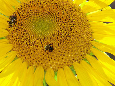 Art Print featuring the photograph Bees Share A Sunflower by Sandi OReilly