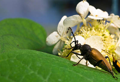 Beetle Photograph - Beetle Preening by Douglas Barnett