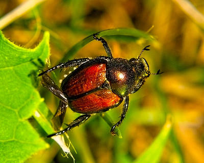 Beetle Take-off Art Print by Pradeep Bangalore