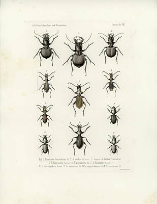 Drawing - Beetles Of Southern Africa by W Wagenschieber