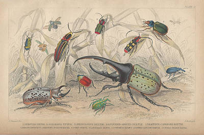 Beetle Drawing - Beetles by Dreyer Wildlife Print Collections
