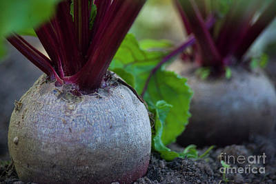 Photograph - Beets by Jim And Emily Bush
