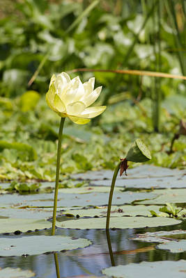 Photograph - Before And After - Water Lily by Christopher L Thomley